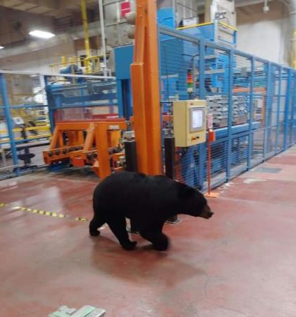 Black Bear Spotted Inside Denso Manufacturing Plant - Yes, maybe they have a new employee or mascot, but this black bear has been hanging around the plant for several days.
