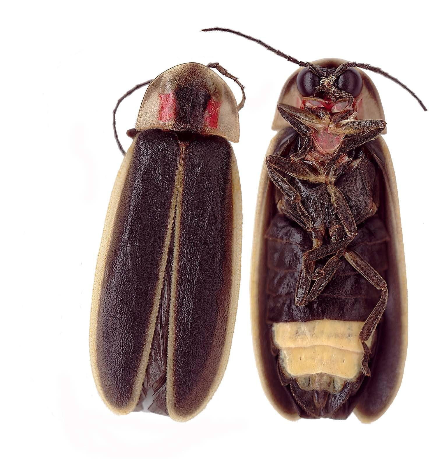 Firefly aka lightening Bug