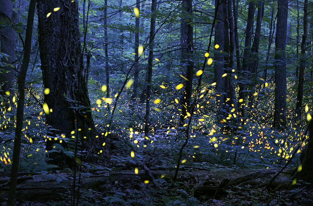 Synchronous Firefly Viewing Dates for the Great Smoky Mountains National Park