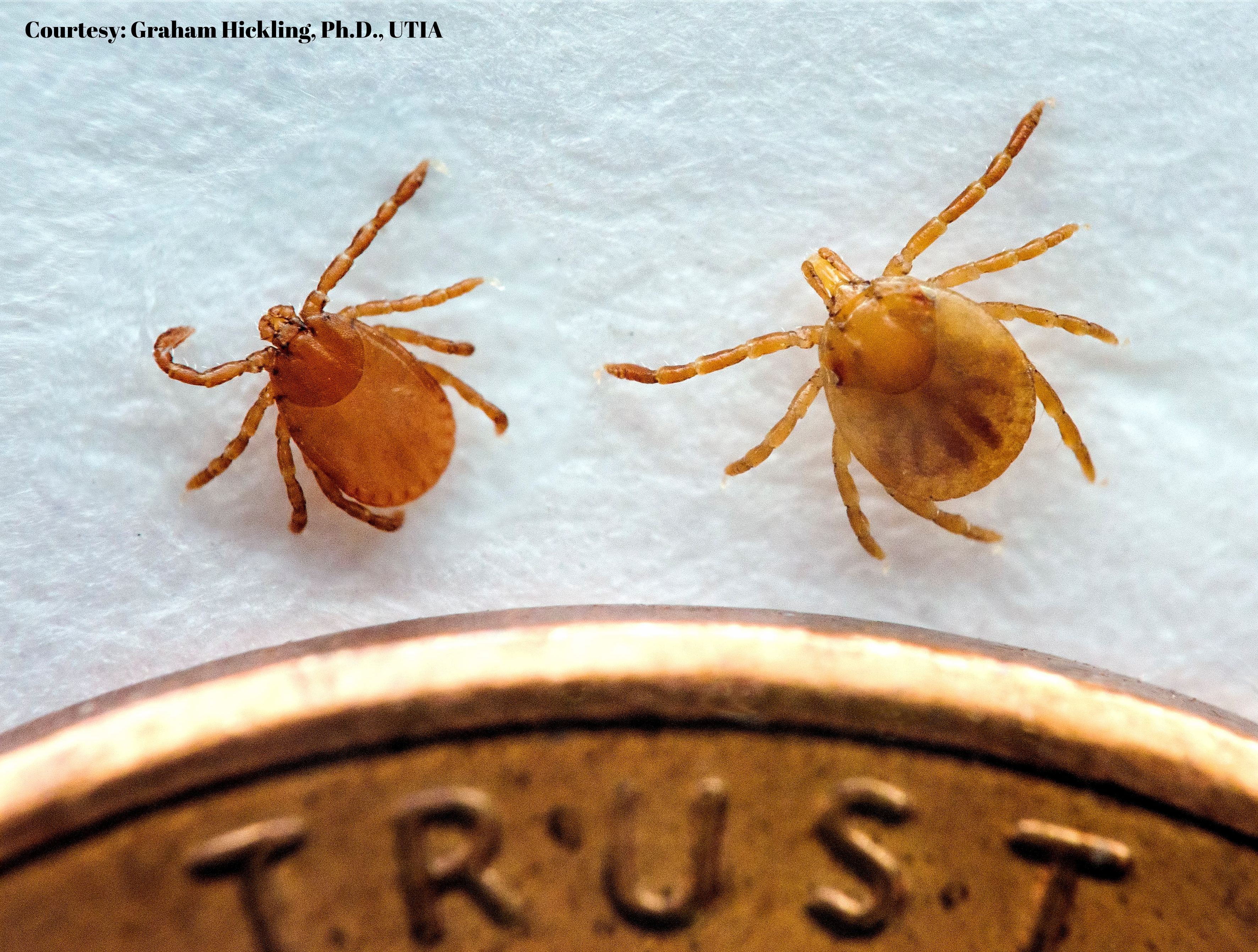 Invasive Tick Detected in Tennessee - The Tennessee Department of Agriculture, United States Department of Agriculture – Animal and Plant Health Inspection Services, Tennessee Department of Health, and University of Tennessee Institute of Agriculture (UTIA) today announced the detection of the invasive Asian longhorned tick in Tennessee. #AsianLonghornedTick