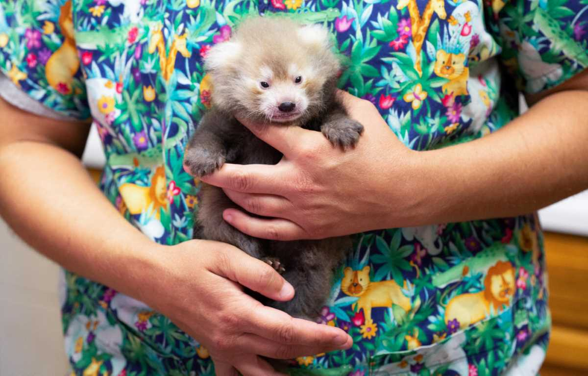 Zoo Knoxville Announces Birth of 110th Red Panda